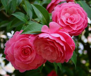 Hoa tra đỏ