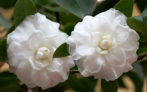Hoa trà trắng
