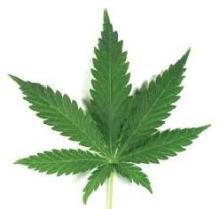 botanical-cannabis-sativa-leaf-peltatequer