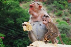 wild_monkeys